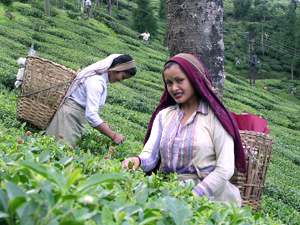 Darjeeling Tea Garden Worker: Image From Wiki Commons